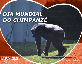 Dia Mundial do Chimpanzé