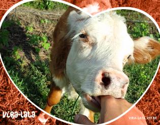 Cortando trato para as vacas – O Indaialense