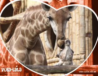 Nascimento de Girafas